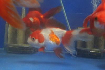 金魚0602-3