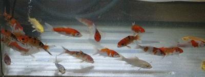 金魚0613-3