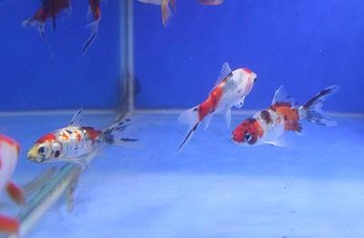 金魚0613-2