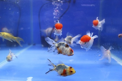金魚0613