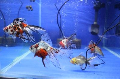 金魚0626