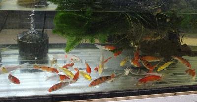 金魚0626-2