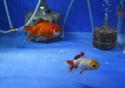 金魚0626-3