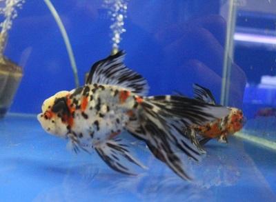 金魚0626-4
