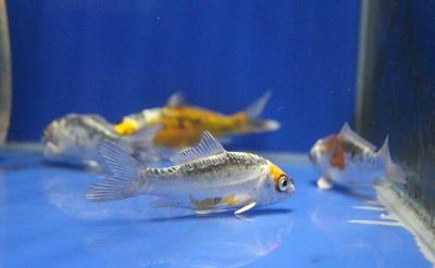 金魚0626-5