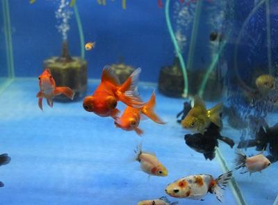 金魚0628