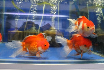 金魚0628-2