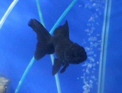 金魚0628-3