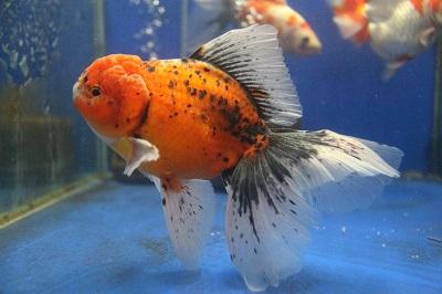 金魚0729-3