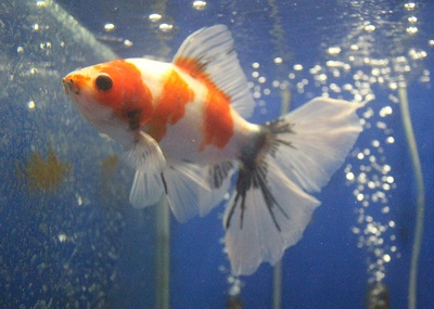 金魚0729-4