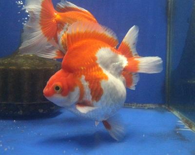 金魚0729-5