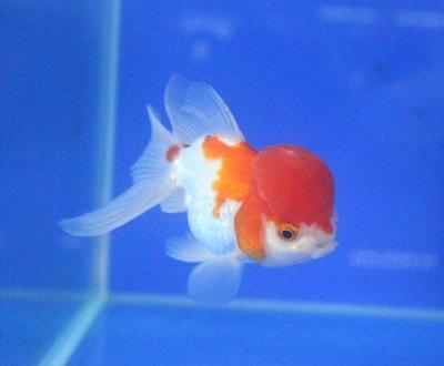 金魚0729