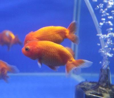 金魚0729-9