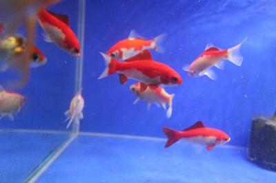 金魚0729-7