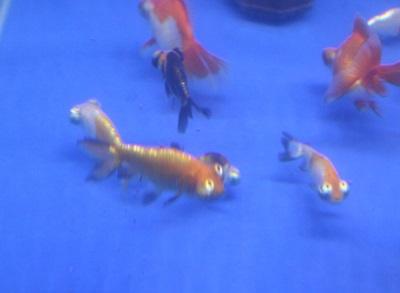 金魚0909