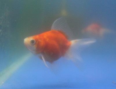 金魚0909-2
