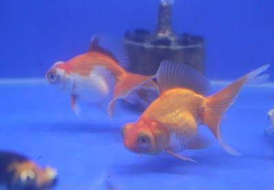 金魚0909-3