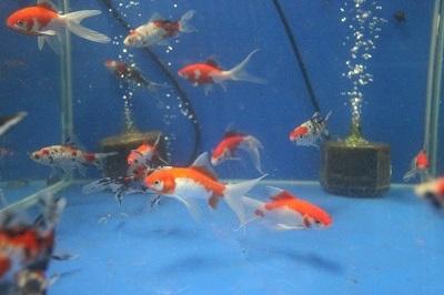金魚1103-2