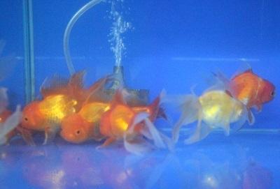 金魚1103-3
