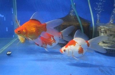 金魚1103-4