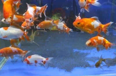 金魚1103-6
