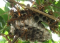 フタモンアシナガバチの巣