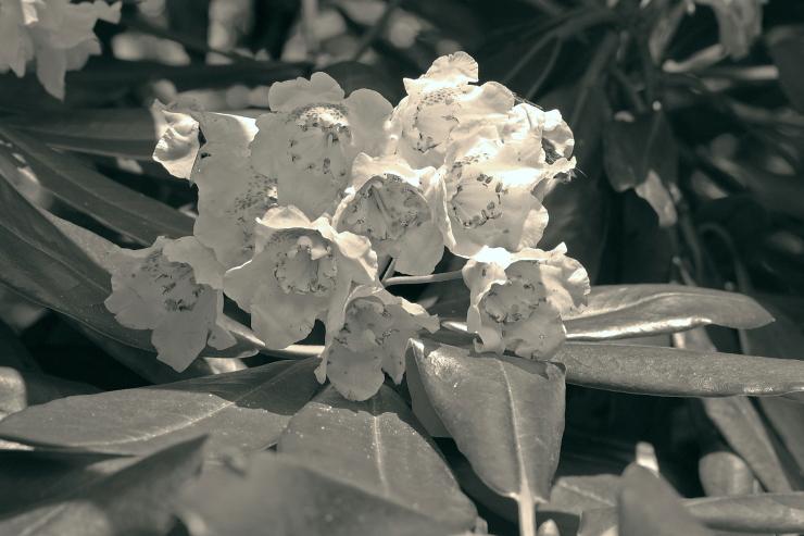 根本石楠花