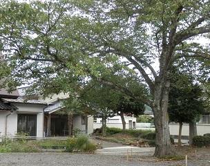 H2809伊佐_大きな木