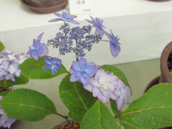 29-深山八重紫IMG_0078