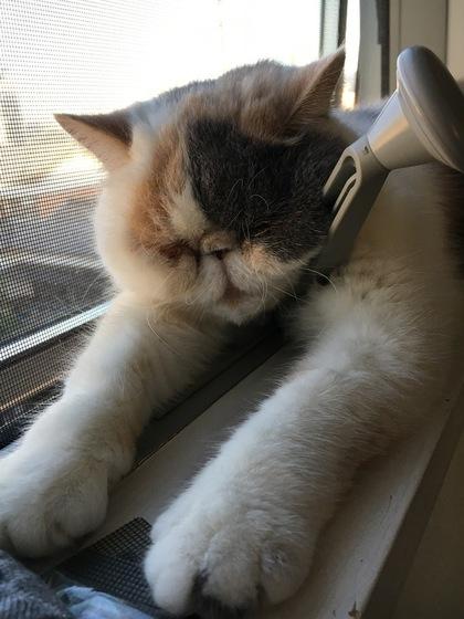 窓際で落ちてる猫