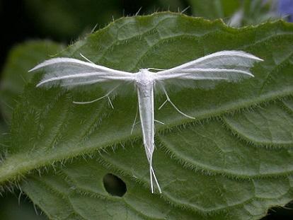 Pterophorus pentadactyla 2
