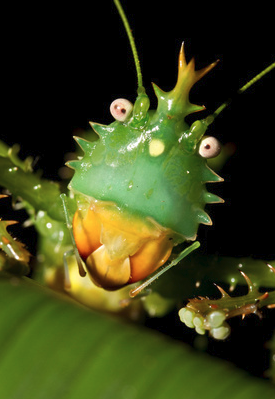 Thorny Devil katydid(Panacanthus cuspidatus )6