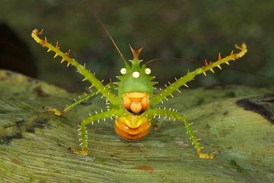 南米熱帯雨林林バッタ目Thorny Devil katydid  Spiny devil katydid or bush cricket , Panacanthus cuspidatus