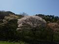 160416大原野杉谷、のんびりした里山の桜
