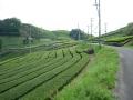 160423緑の鮮やかな石寺の茶畑