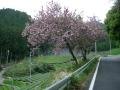 160423八重桜を横目に和束側から大正池へ上る