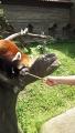 160501ひらパーのレッサーパンダに餌やり
