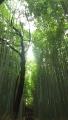 161103竹林を見上げる