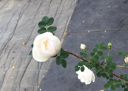 バーネットダブルピンク 咲きかけ