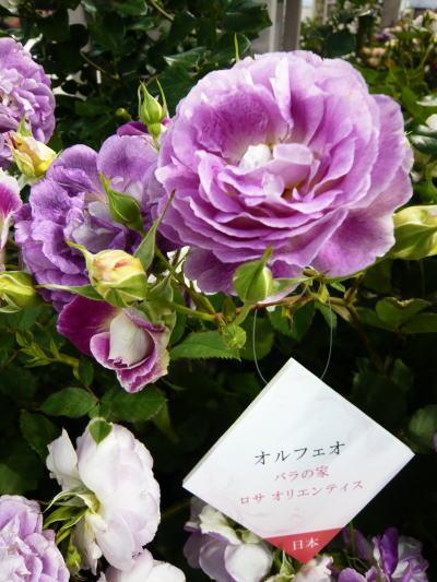 ブログ2016国バラ4