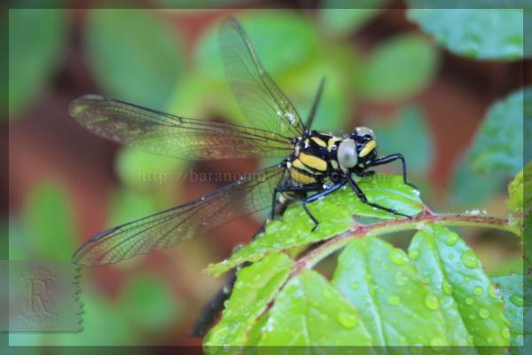 トンボ 20160412 庭に来る虫