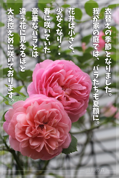 衣替えの季節となりました。我が家の庭では、バラたちも夏顔に。花弁は小さく、少なくなり・・春に咲いていた豪華なバラとは違う花に見えるほど、大変控えめに咲いております。