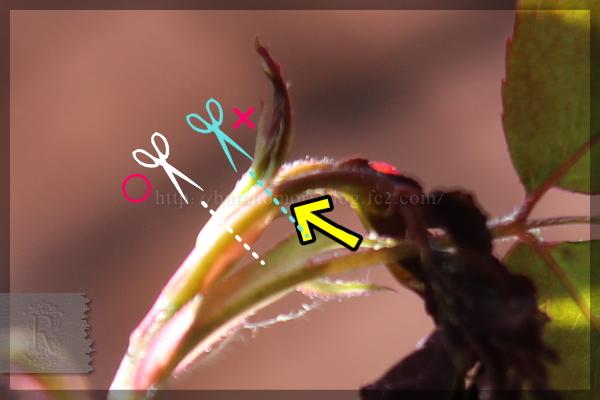 バラゾウムシ 害虫 20160415