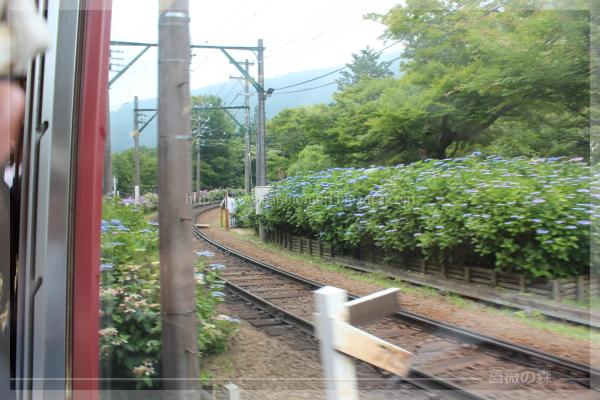 アジサイ 20160619 箱根登山鉄道