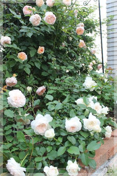 砕石駐車場花壇 ボレロ グラスアンアーヘン エブリン 20160519