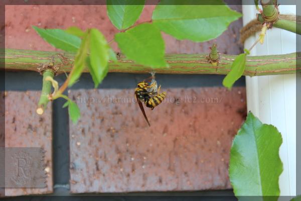 アシナガバチ 20160415