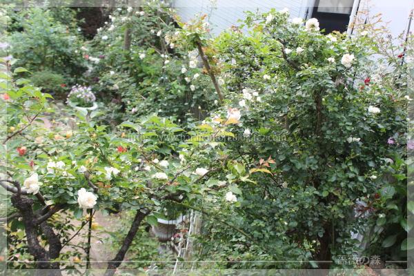 ホワイトメイディランド ソンブロイユ バラのスクリーン メインガーデン 20160519