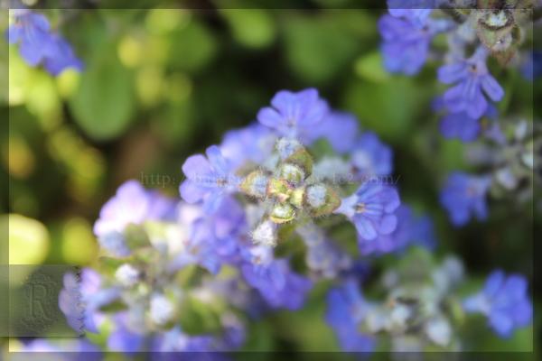 アジュガ 20160412 庭の花