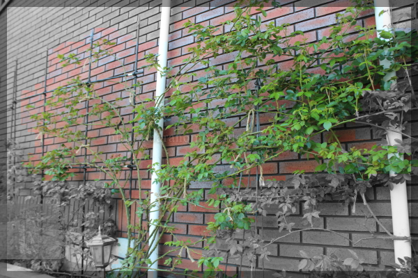 ウォラトンオールドホール パパ花壇 20160412
