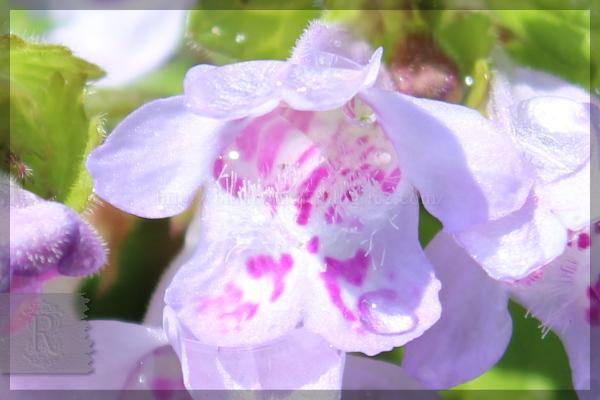 カキドオシ 庭の花 20160412
